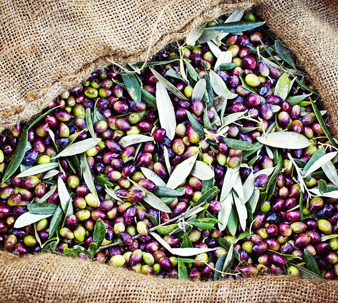 Vignoble Jonquères d'Oriola - Huile d'olive Bio - Languedoc Roussillon - La recolte