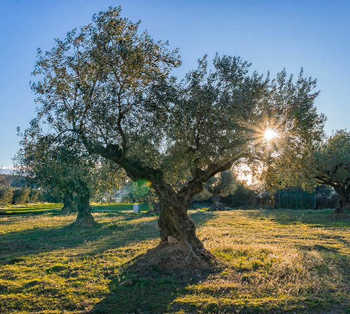 Vignoble Jonquères d'Oriola - Huile d'olive Bio - Nos arbres