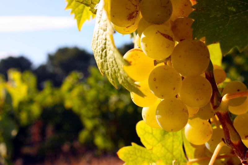 Jonquères d'Oriola Vineyard - Our vines